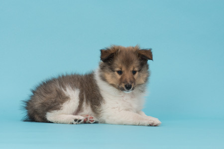 lassie: Cute and fluffy shetland sheepdog puppy lying down on a blue background Stock Photo