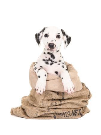 dalmation: Cute black and white dalmatian puppy dog sitting in a burlap sack facing the camera isolated on a white background