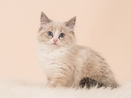 rag doll: Pretty fluffly rag doll baby cat kitten sitting facing the camera seen from the side on a creme white background
