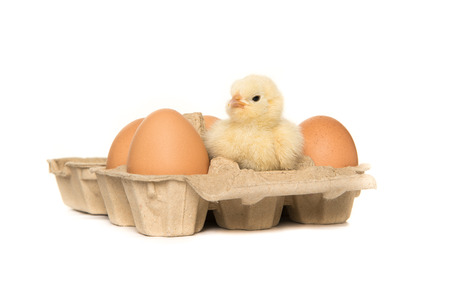 paperboard: Yellow baby chicken in a paperboard egg carton between eggs isolated on a white background Stock Photo