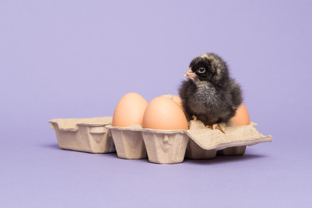 paperboard: Cute brown baby chicken sitting in a paperboard egg carton between eggs on a purple background