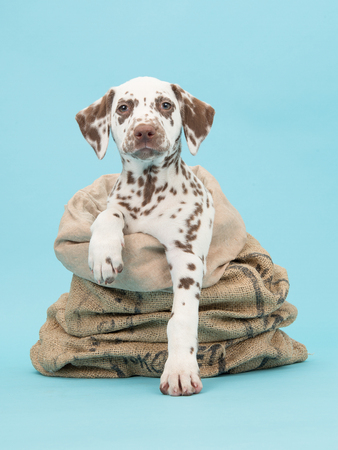burlap sack: Cute brown and white dalmatian puppy facing the camera in a burlap sack on a blue background
