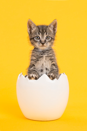 an egg shell: Cute tabby baby cat kitten in a white egg shell on a yellow background