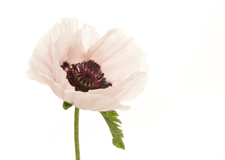 Blooming white poppy flower isolated on a white background