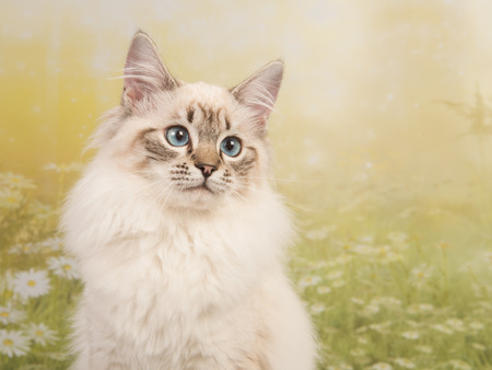 Pretty rag doll cat portrait with blue eyes on a flower spring background Stock Photo