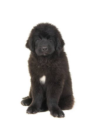 Cute newfoundland puppy dog facing the camera sitting on a white background