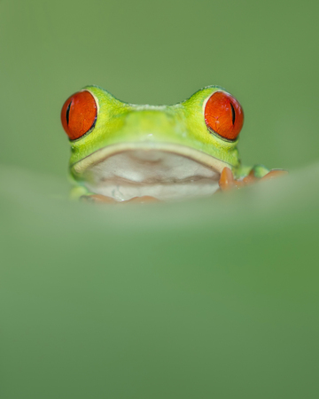 Red eye tree leaf frog from costa rica with great red eyes, peaking over a leaf