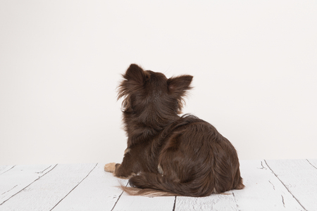 lying down on floor: Pretty brown chihuahua adult dog lying down looking up seen from the back lying on a wooden floor staring at a white wall