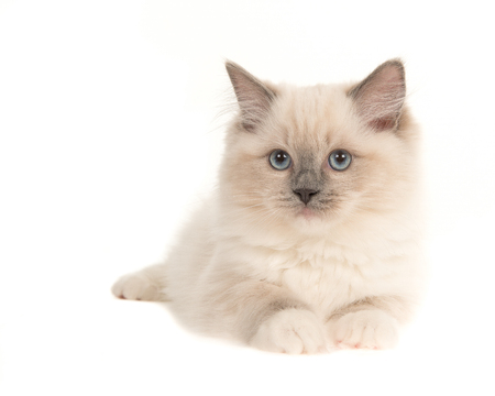 Pretty ragdoll baby cat kitten with blue eyes lying down, isolated on a white background
