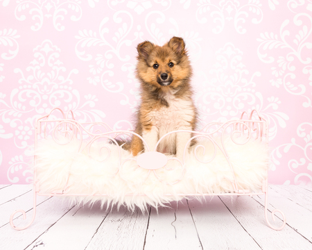 sheepdog: Cute shetland sheepdog collie puppy sitting in a pink bed on a pink wallpaper and wooden floor