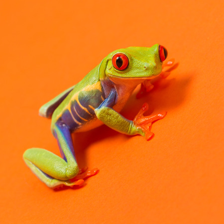 red eyes: Red eyed tree frog with red eyes on orange background Stock Photo
