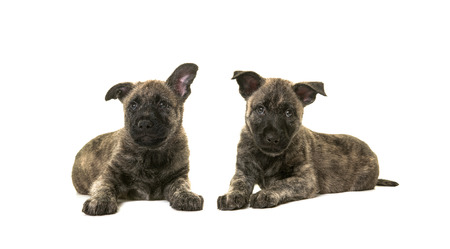 lying down on floor: Two dark cute wirehaired dutch shepherd puppy dogs lying down on the floor isolated on a white floor