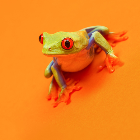Red eyed tree frog with red eyes leaning forward on orange background ready to jump