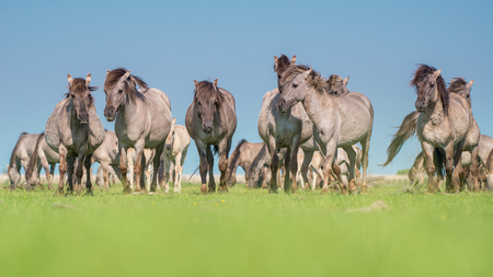 towards: Herd of wild Konik horses walking towards the camera on a blue sky and green grass