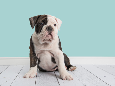 Cute sitting english bulldog in a living room setting with a blue wall background