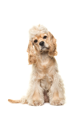front facing: Cute blond cocker spaniel dog sitting facing the camera seen from the front isolated on a white background