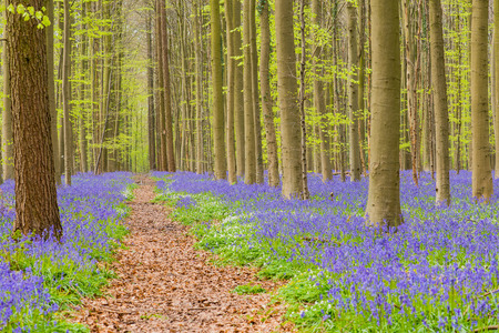 bluebell woods: Belgium forest hallerbos in the spring with english bluebells and a forest lane to the trees with fresh green leaves