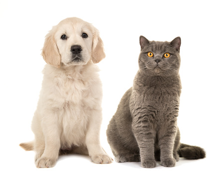 Blond golden retriever puppy dog and grey british short hair cat sitting facing the camera isolated on a white background Stock Photo