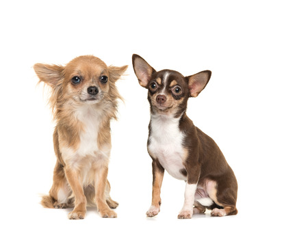 long haired chihuahua: Two chihuahua dogs one long haired one short haired, both sitting and facing the camera isolated on a white background