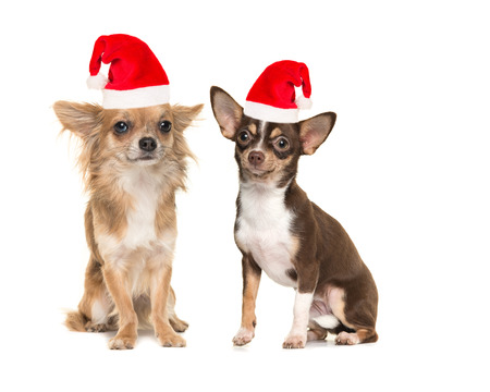 Two chihuahua dogs one long haired one short haired, both sitting and facing the camera isolated on a white background wearing santas hat