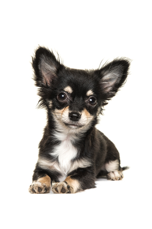 long haired chihuahua: Cute long haired chihuahua puppy dog lying down isolated on a white background facing the camera