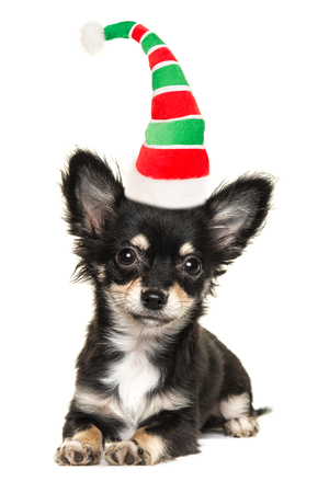 long haired chihuahua: Cute long haired chihuahua puppy dog lying down isolated on a white background facing the camera wearing santas elf hat