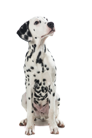Adult sitting dalmatian dog looking up isolated on a white background