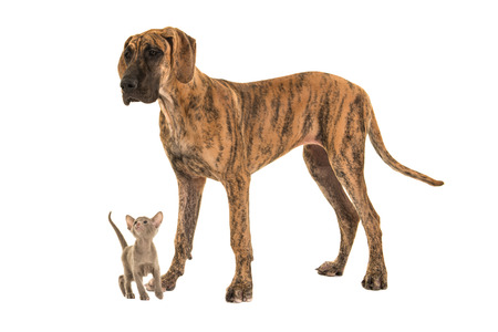 large dog: Small cute siamese baby cat looking up to a large great dane dog on a white background