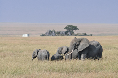 Herde von Elefanten mit im Hintergrund ein Safari-LKW in einer afrikanischen Graslandschaft