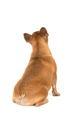 seen: Sitting french bulldog dog seen at its back looking up isolated on a white background Stock Photo