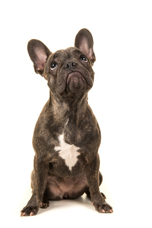front facing: Cute young brown french bulldog sitting looking up seen from the front on a white background
