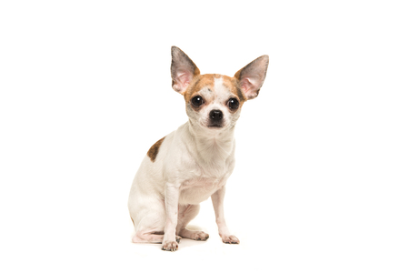 shorthair: Sitting shorthair chihuahua dog sitting and facing the camera isolated on a white background Stock Photo