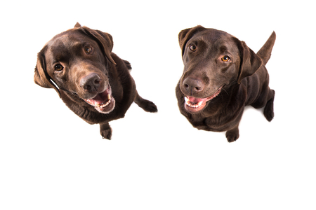 Two brown labrador retriever sitting facing the camera seen from above isolated on a white background Stock Photo