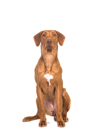 Pretty rhodesian ridgeback dog sitting looking up isolated on a white background