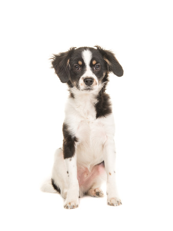 Mixed breed cute black and white puppy dog facing the camera sitting on a white background