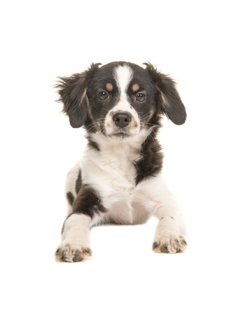 Mixed breed cute black and white puppy dog facing the camera lying on the floor on a white background seen from the front Stock Photo