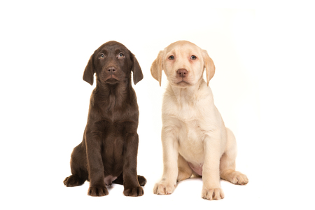 Blond and brown labrador retriever puppy facing the camera sitting on an isolated on a white background