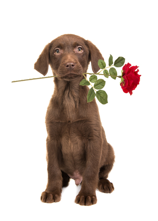Sitting brown labrador retriever puppy seen from the front facing the camera with a red rose in its mouth  isolated on a white background Stock Photo