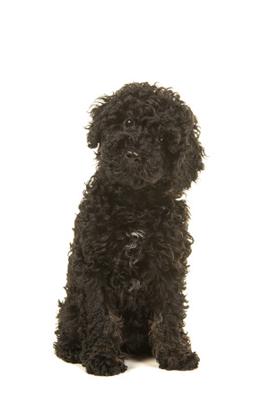 Sitting black labradoodle puppy facing the camera seen from the front on a white background Stock Photo