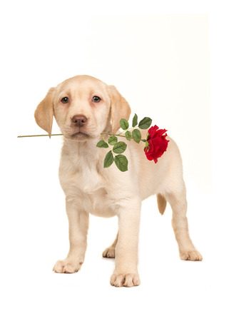 Pretty blond labrador retriever puppy facing the camera with a red rose in its mouth standing on an isolated on a white background