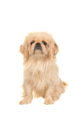 Sitting blond adult tibetan spaniel dog facing the camera isolated on a white background Stock Photo