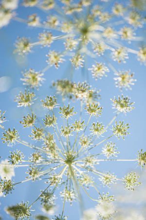Wild cow parsley at the blue sky seen from underneath Stock Photo