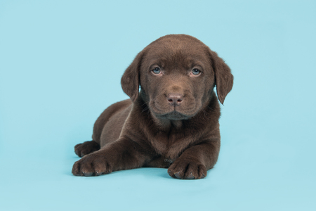 Cute brown labrador retriever puppy lying on the floor with head up facing the camera on a soft blue background Stock Photo