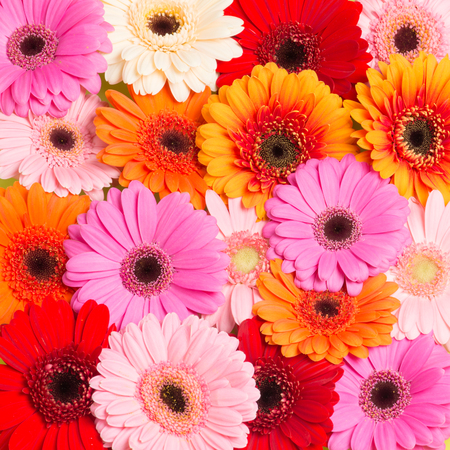 Colorfull blooming Gerbera flowers seen from above Stock Photo