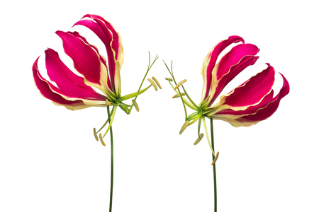 Two blooming gloriosa, glory lilies at a white background