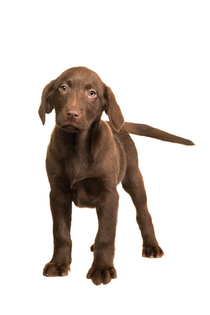 Chocolate brown labrador retriever puppy walking towards you isolated on a white background