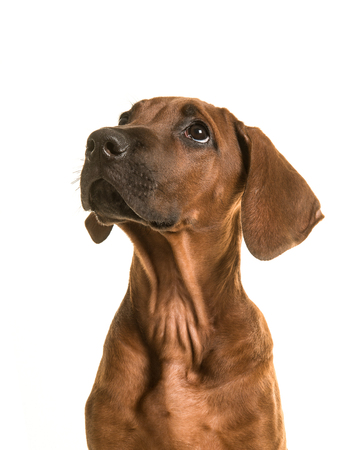 Rhodesian ridgeback puppy portrait looking up isolated on a white background Stockfoto