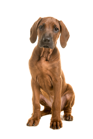 Cute rhodesian ridgeback puppy sitting leaning forward isolated on a white background Stock Photo