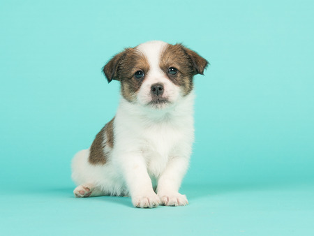 Brown and white jack russel mix puppy sitting facing the camera on a turquoise blue background Stock Photo