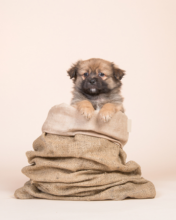 Cute mixed breed spitz puppy in a burlap sack on a creme colored background